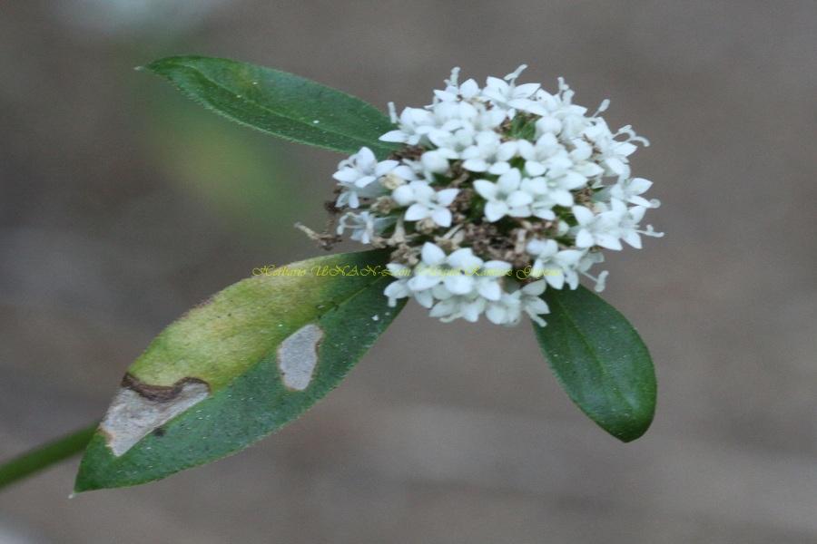 Borreria densiflora