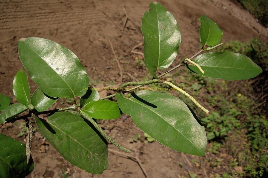 Piper arboreum