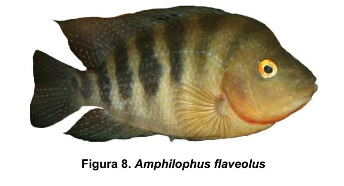 Amphilophus flaveolus
