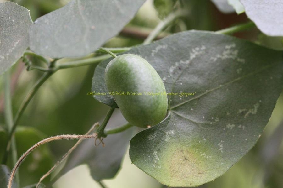 Melothria pendula