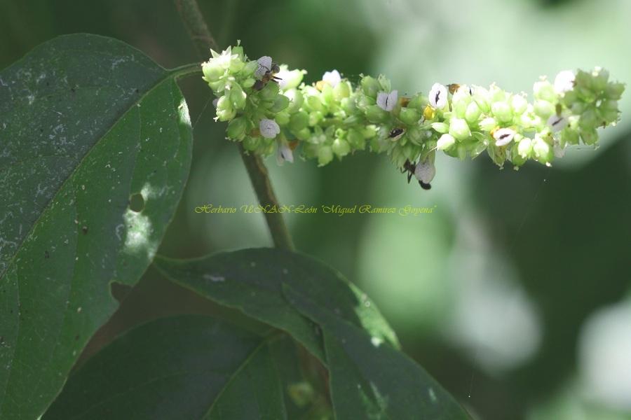 Chamissoa altissima