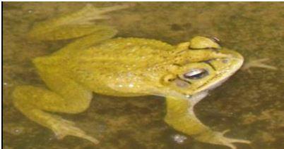 Incilius leutkenii (Sapo Amarillo)