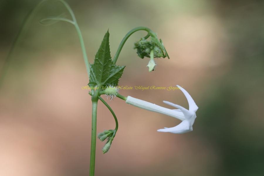 Rytidostylis gracilis
