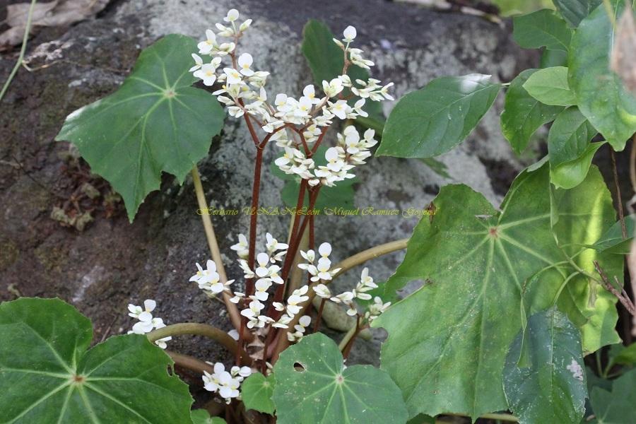 Begonia plebeja