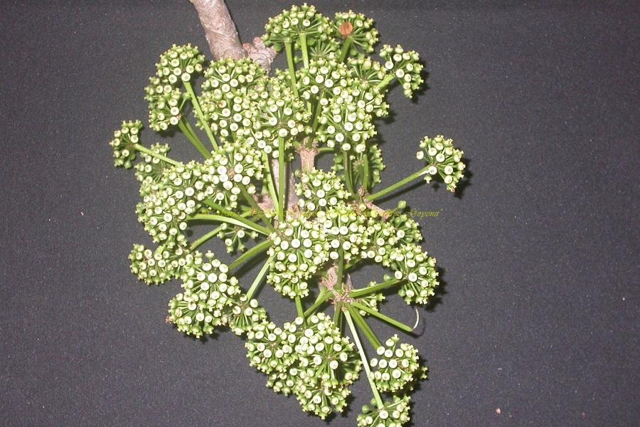 Sciadodendron excelsum