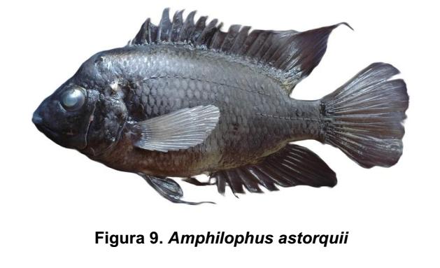 Amphilophus astorquii