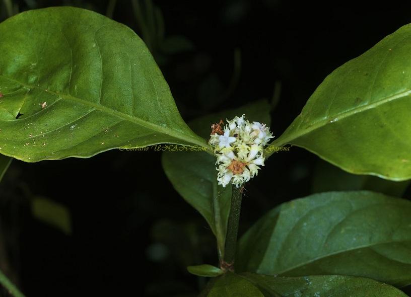 Psychotria quinqueradiata