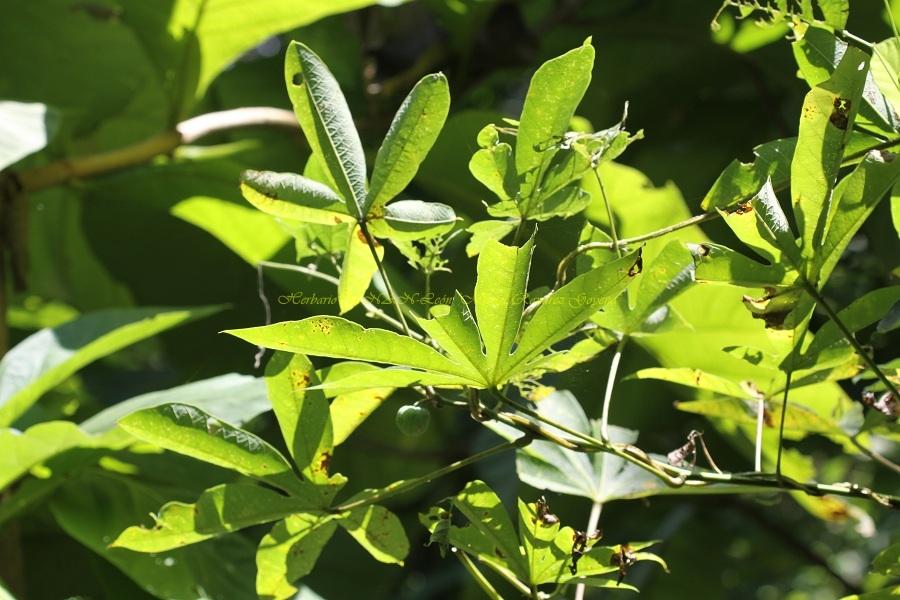 Manihot aesculifolia