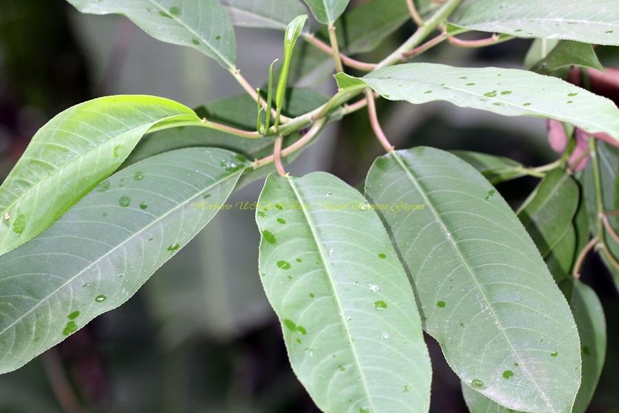 Sapium macrocarpum
