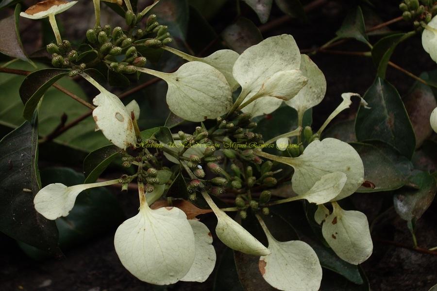 Calycophyllum candidissimum