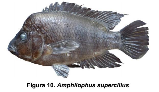 Amphilophus supercilius