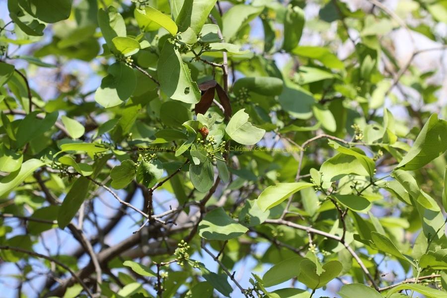 Semialarium mexicanum