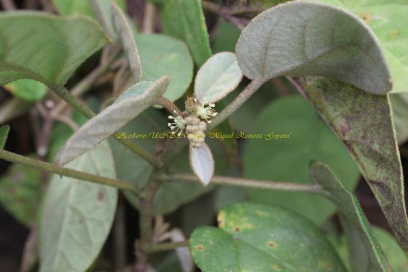 Croton payaquensis