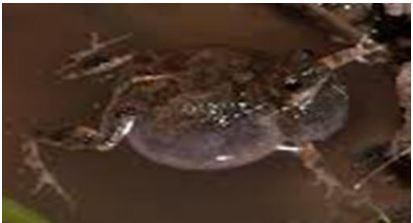 Engystomops pustulosus, (Sapito Tungara)