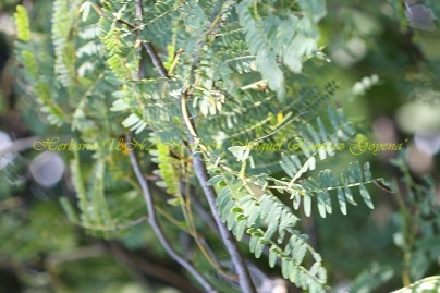 Lysiloma auritum