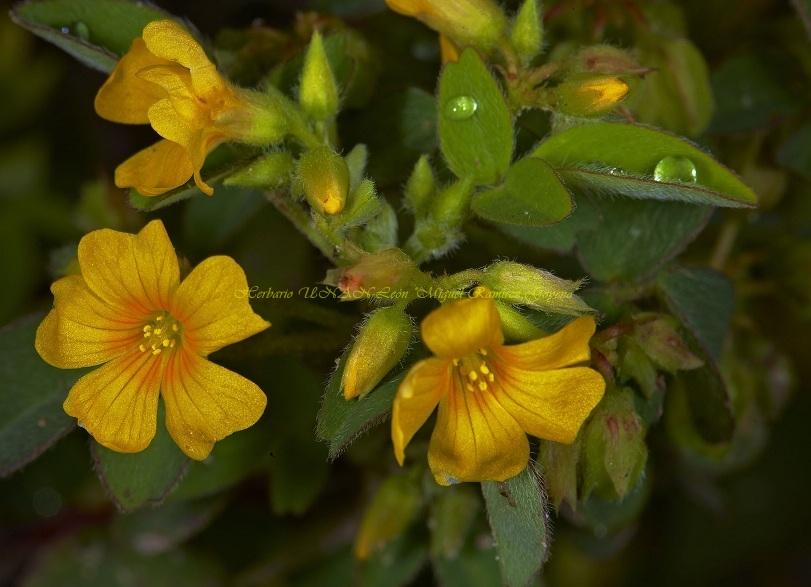 Oxalis frutescens ssp angustifolia