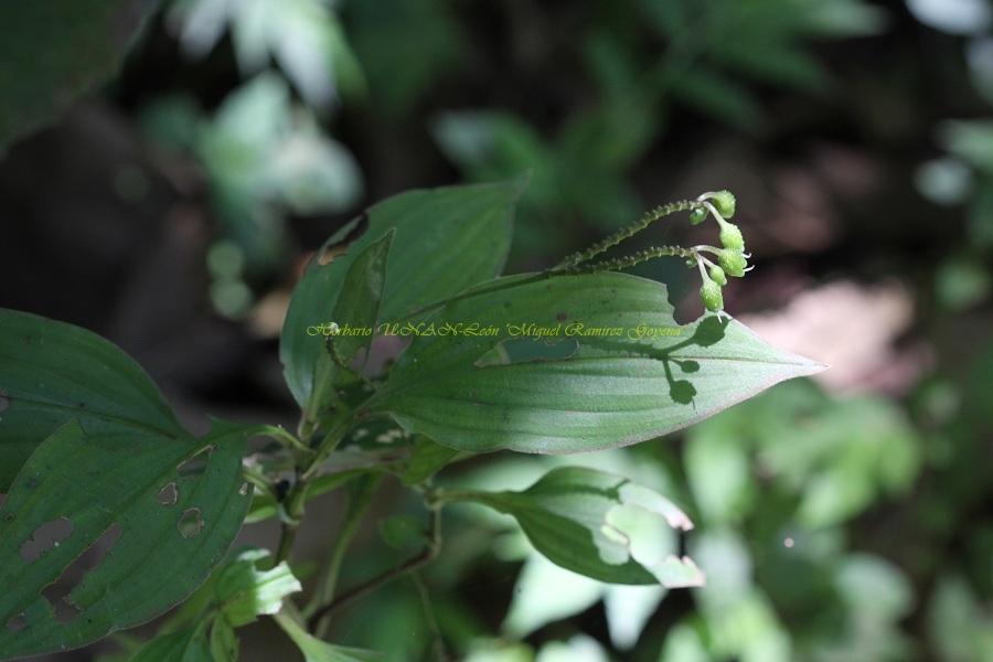 Tinantia longipedunculata