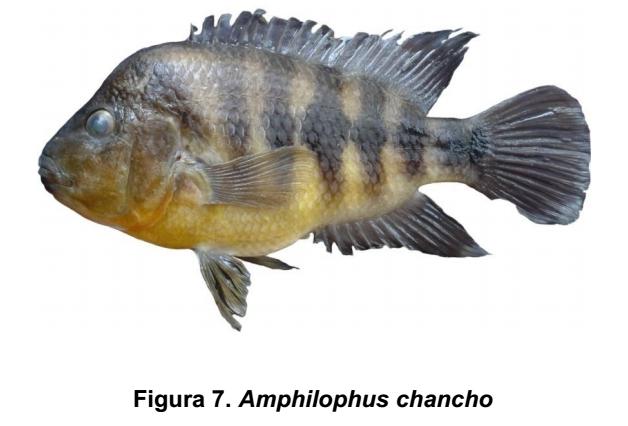 Amphilophus chancho