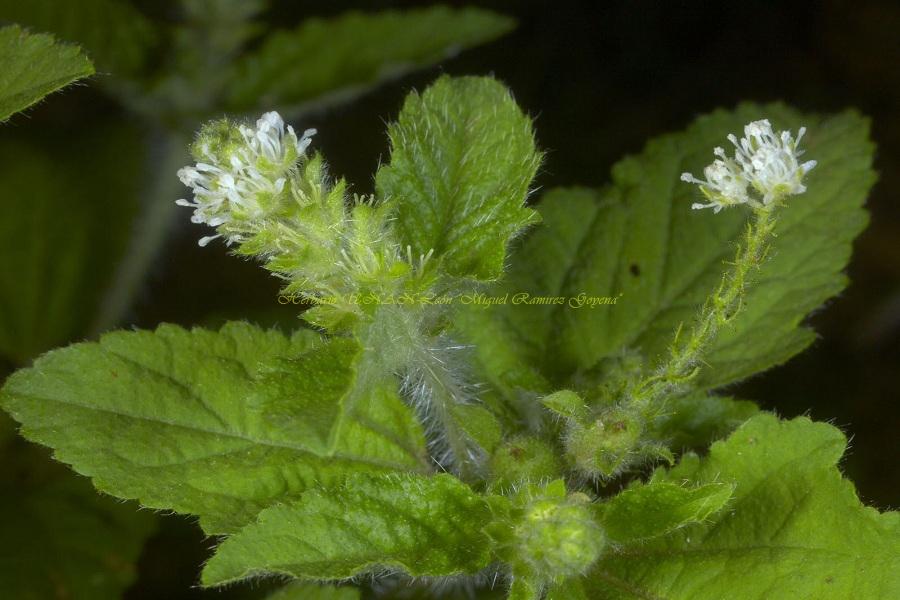 Croton hirtus