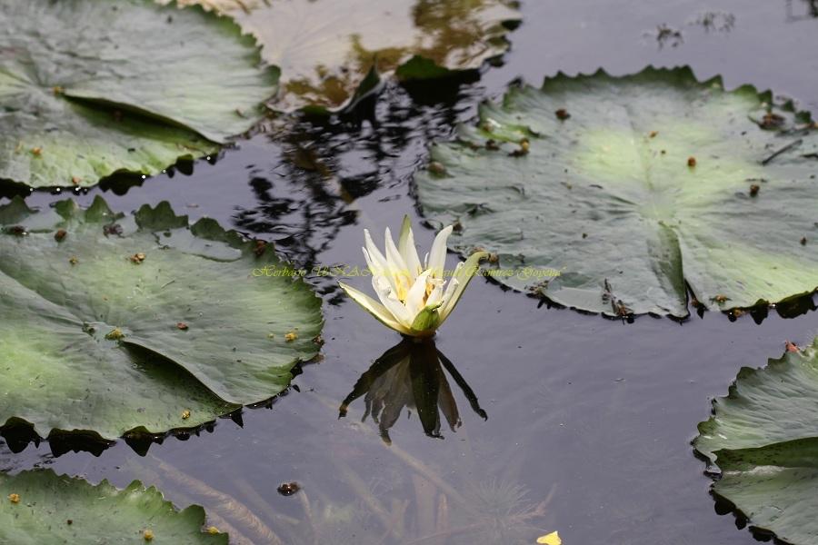 Nymphaea ampla