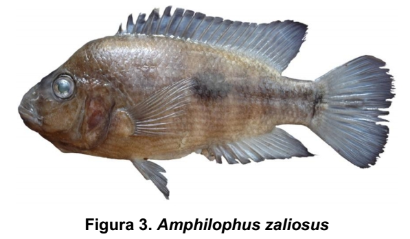 Amphilophus zaliosus