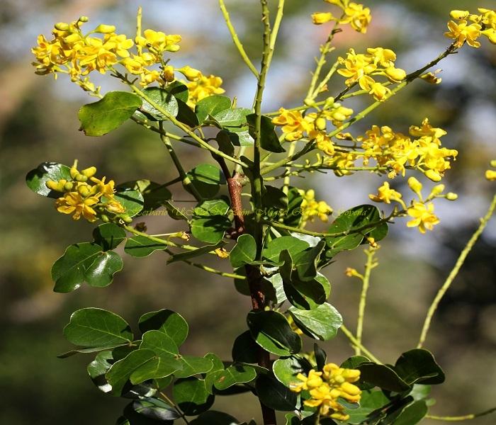 Caesalpinia sp