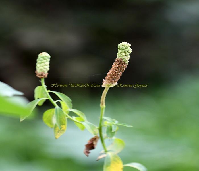 Sphenoclea zeylanica